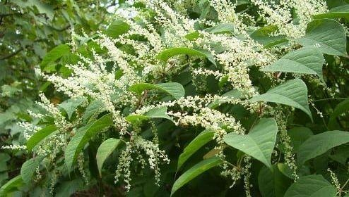 Japanese Knotweed - How to tackle it!